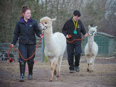 Our Alpacas, Icicle and Bailey