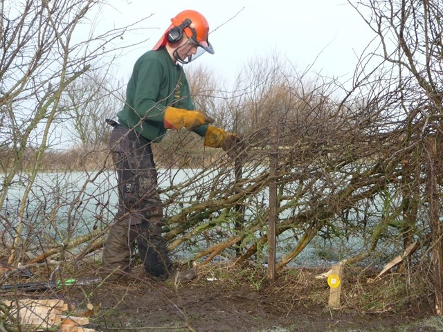 hedgelaying 3.JPG
